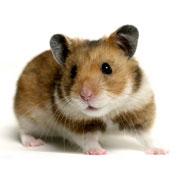 15_hamster